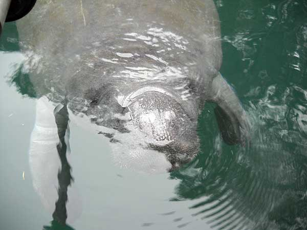 Manatee up close at Weeki Wachee Springs State Park in Florida