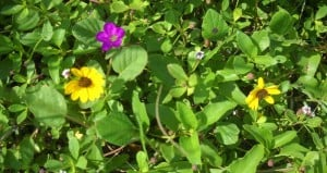Secret beach: Hobe Sound NWR beach flowers