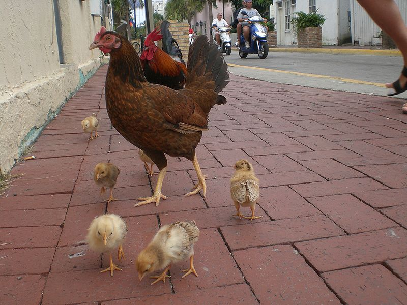 Chicken family in Key West