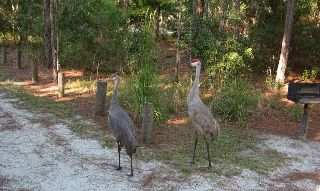 Endangered Florida sandhill cranes at Moss Park
