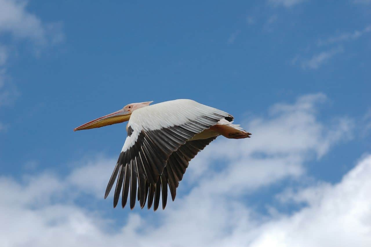 White Pelican, Florida Gulf Coast