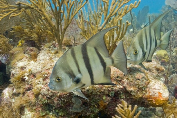 Spadefish at Biscayne National Park