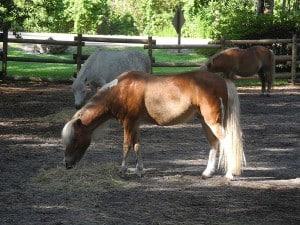 Pony Rides at the Triple-Circle-D Ranch
