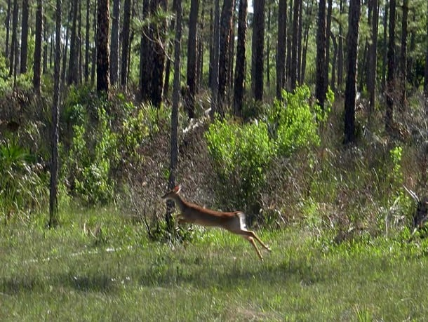Leaping deer spotted from swamp buggy near Naples