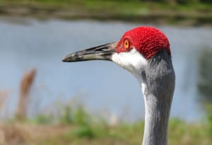 Sandhill crane along Bluegill Trail.